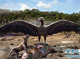 世界上翅膀最大的鸟比人的胳膊还长