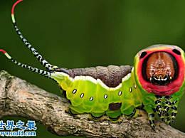 世界上最可爱最可怕的动物 黑带双尾船蛾