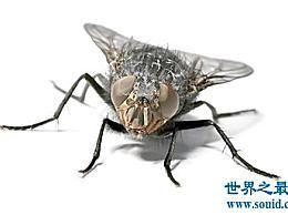 苍蝇的寿命有多长是杀死苍蝇最有效的方法
