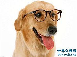 狗智商排名介绍边境牧羊犬是最聪明的狗