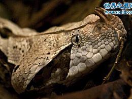 犬牙最长的蛇 加蓬蝰蛇(国王眼镜蛇pk加蓬蝰蛇谁是强大的)