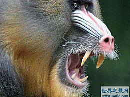 世界上最大的猴子 形状奇特 长度接近80厘米