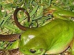 爱吃毒蛇的蛇蛙不超过3公斤 能捕食160公斤以内的毒蛇