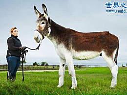 世界上最高最大的驴 身高1.73米(寿命54年)