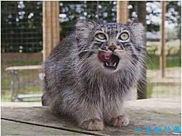 世界上最凶猛的猫 帕拉斯猫非常好斗