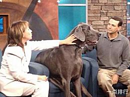 世界上最大的狗乔治身高:109厘米;重量:111公斤