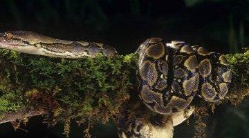 世界上最大的蛇 桂花 容易被一个人吞下(总长度14.85米)