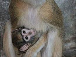 世界上最快的猴子 红猴子能以50公里的速度奔跑