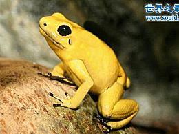 世界上最毒的生物 金箭毒蛙(3分钟内杀死10人)