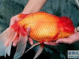 仅世界上最大的金鱼就有1米多长