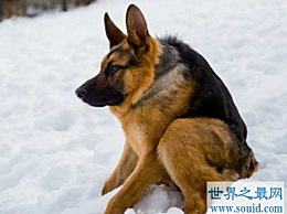 世界上最丑的狗品种 卡西莫多狗(天生残疾 没有脖子)