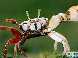 世界上最变色的螃蟹随着潮汐的涨落而变化