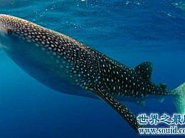 最大的鱼鲸鲨在表面上很凶猛 但我没想到它们会有这样的怪癖