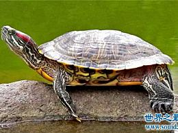 巴西乌龟的寿命长达35岁 让你的巴西乌龟活得更久的三种方法