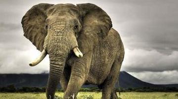 陆地上战斗力最强的动物:成年雄性非洲象(单手狮子碾压犀牛)