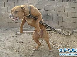 比特犬多少钱?家养的比特犬合适吗