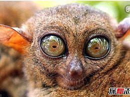 算上世界十大奇异动物 眼镜猴就像一个外星人(超级可爱/濒临灭绝)