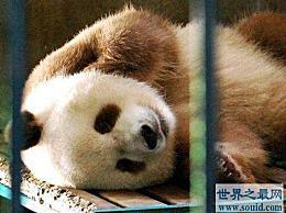 世界上仅存的棕色大熊猫 七只棕色皮毛回归祖先的现象