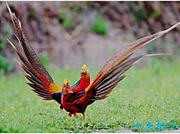 红腹锦鸡是世界上最美丽的鸡 它身上有彩虹色的羽毛 光彩夺目