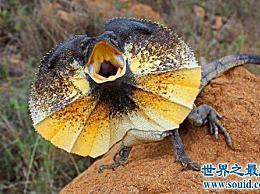 世界上最奇怪的蜥蜴 你见过有伞头的伞蜥蜴吗