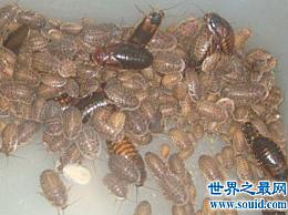 杜比亚蟑螂不是四害 它有药用价值