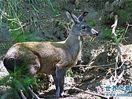 长着锋利獠牙的吸血鹿是一种珍贵的动物 濒临灭绝