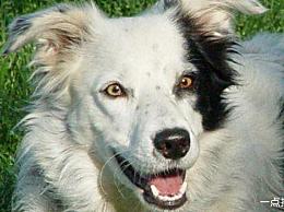 世界上最聪明的狗在死前能理解一千多个单词