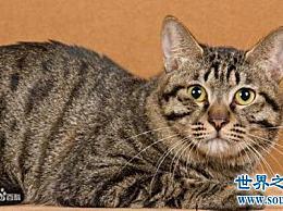 世界上寿命最长的猫 阿塞拉猫可以活25年