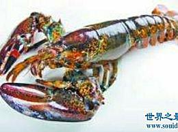 世界上最大的龙虾 让人流口水