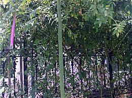 世界上最长的丝瓜 你见过4米长的丝瓜吗