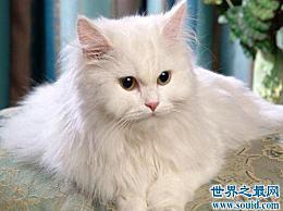 安哥拉猫 世界上最古老的猫品种 起源于16世纪的非洲
