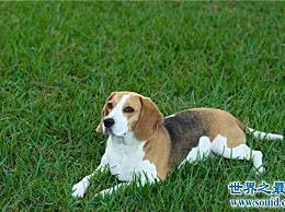 世界十大最受欢迎的家犬品种 计算最有价值的狗!