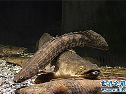 鳄鱼恐龙王历史悠久 具有很强的环境适应性和生存能力