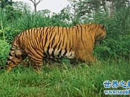 最大的猫 巨虎 在历史上是不可战胜的