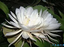 世界上最稀有的每三千年开一次的十种乌冬花在名单上