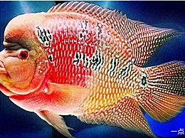 罗汉鱼的品种排名哪一个品种最贵