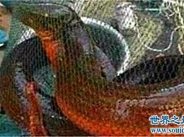 世界上最大的鳗鱼 长1.5米 重36磅 有成年小牛那么厚
