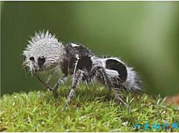 世界上最奇怪的蜜蜂 熊猫蚂蚁有熊猫的颜色和蚂蚁的姿势