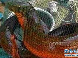 世界上最大的鳗鱼相当于人类的幼鳗 长1.5米 重36磅