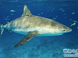 柠檬鲨具有攻击性 购买它们来观赏会造成一定的危险