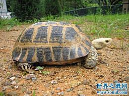缅甸龟不能养?海龟饲养大师会教你的!