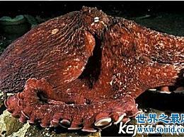 沼泽章鱼有八条触须 长得非常吓人