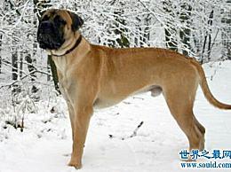 世界上最强的格斗狗――獒犬是古代战争的好帮手