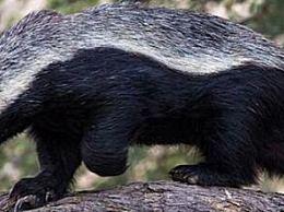 世界上最无畏的动物疯狂蜜獾VS四狮