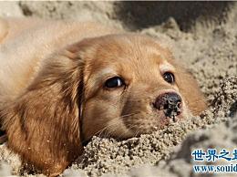 世界十大最友好的狗 金毛寻回犬是值得信赖的