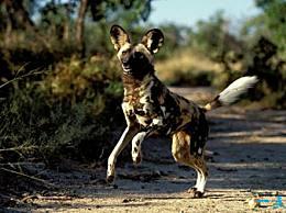陆地上速度最快的十种动物 猎豹(112公里/小时)排第一