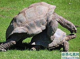 陆地上最大的海龟 平均体重175公斤