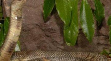 世界上吃得最多的蛇 舟山眼镜蛇(中国十大毒蛇之一)