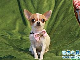 世界上最小的狗 虽然小 但警惕性高 意志力强