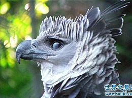 世界上最大的雕刻 鸟类中的霸主吃肉!